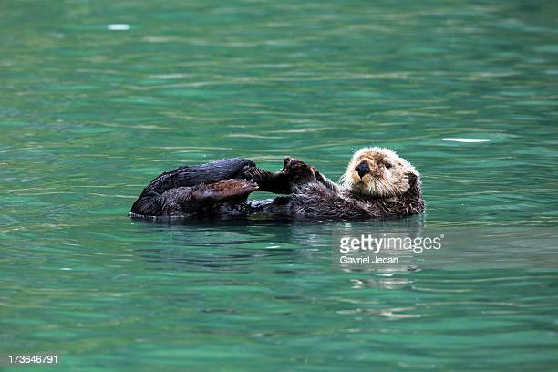 Sea otter swimming in Lake Clark National Park