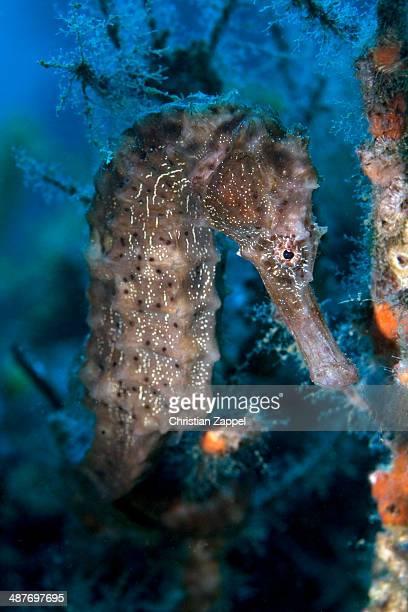 Sea Pony -Hippocampus fuscus-, Gulf of Oman, Oman