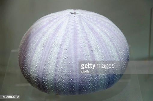 sea shell : Stock-Foto