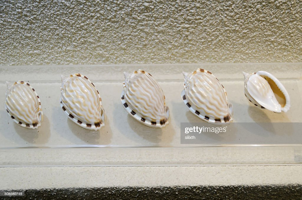 sea shell : Stock-Foto