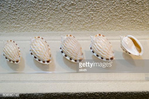 sea shell : Bildbanksbilder