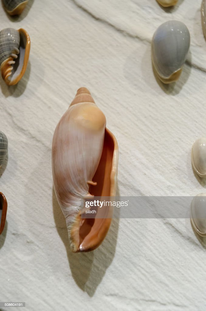 Concha do mar : Foto de stock