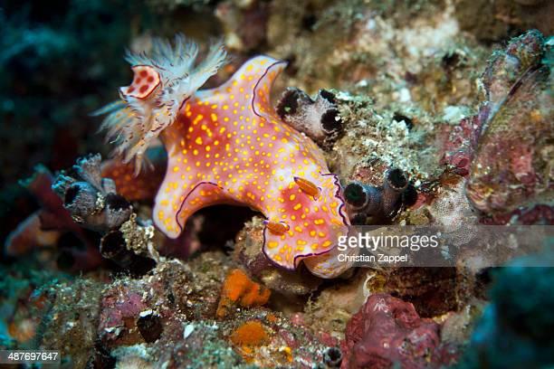 Sea Slug -Ceratosoma trilobatum-, Gulf of Oman, Oman
