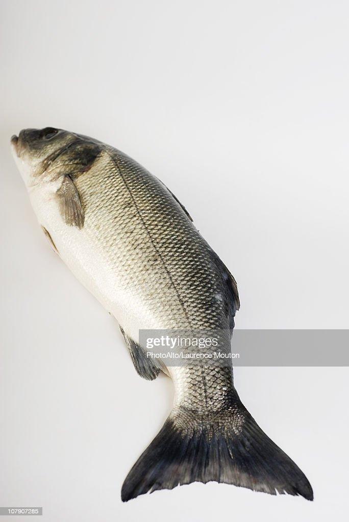 Sea trout : Stock Photo