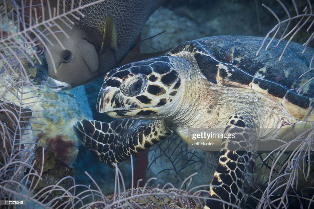 Sea Turtle and Angelfish together on coral reef : Stock Photo