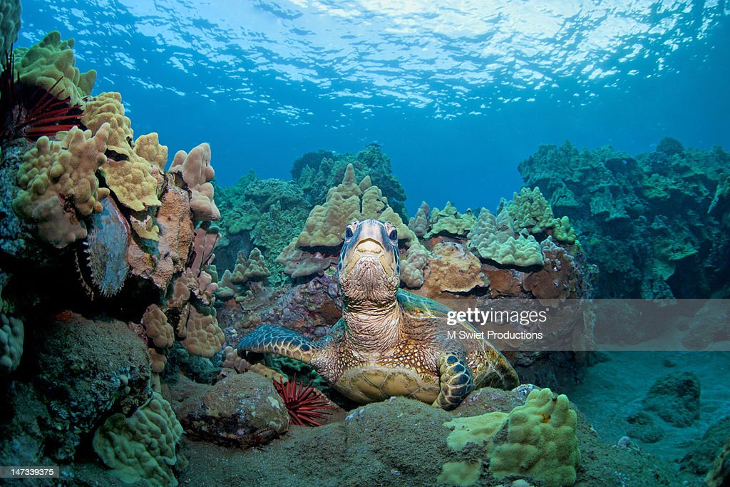 Sea turtle coral reef : Stock Photo