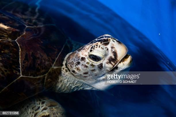 A sea turtle dubbed 'Piggy Bank' comes up for air while swimming in a small sea water pool at the Veterinary Medical Aquatic Animal Research Center...
