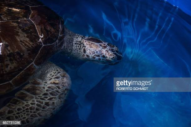 A sea turtle dubbed 'Piggy Bank' swims in a small sea water pool at the Veterinary Medical Aquatic Animal Research Center in Bangkok on March 13 2017...