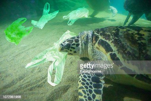 Tortuga come concepto de contaminación de la bolsa de plástico al mar : Foto de stock