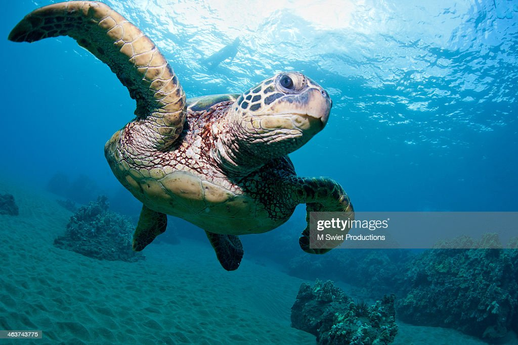 sea turtle flight : Stock Photo