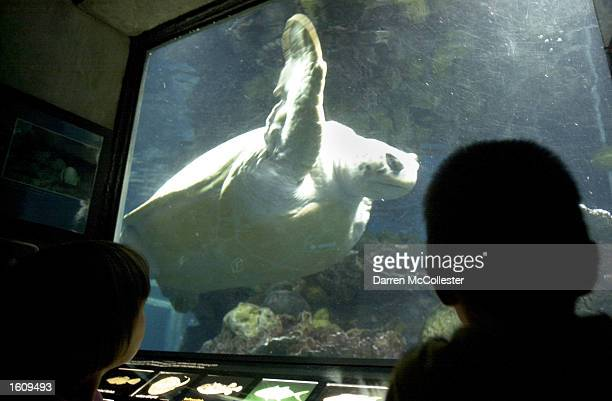A sea turtle glides past visitors August 16 2001 at the New England Aquarium in Boston MA
