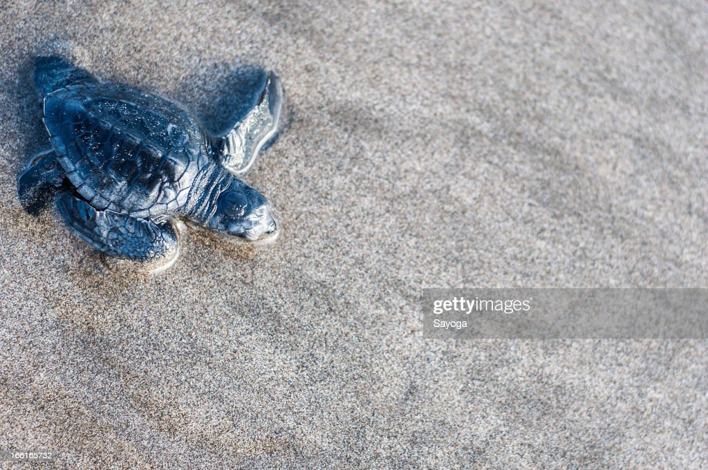 A sea turtle hatchling makes its way to the sea after being released during a release program by the Bali Sea Turtle Society on April 9, 2013 in Kuta, Bali, Indonesia. The sea hatchlings release program is part of the turtle conservation effort which has been taking place at Kuta Beach since 2002.
