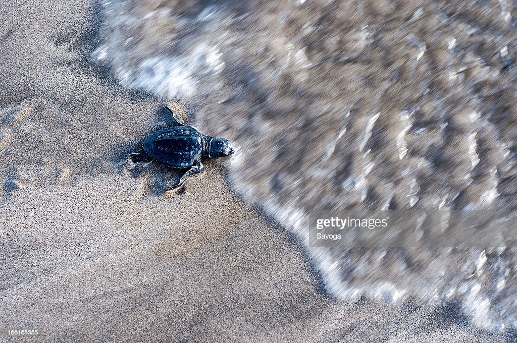 A sea turtle hatchling makes its way to the sea during a release program by the Bali Sea Turtle Society on April 9, 2013 in Kuta, Bali, Indonesia. The sea hatchlings release program is part of the turtle conservation effort which has been taking place at Kuta Beach since 2002.