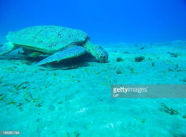 Meeresschildkröte für Speisen auf das Meer