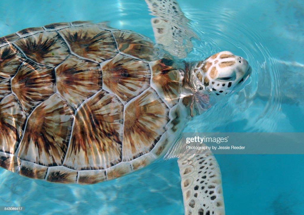 Sea Turtle, Mexico