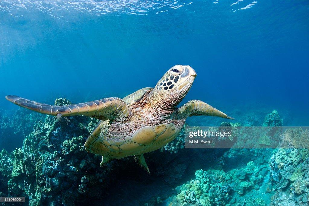 Sea turtle : Stock Photo