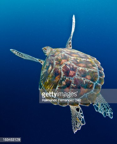 Sea turtle : Stock Photo