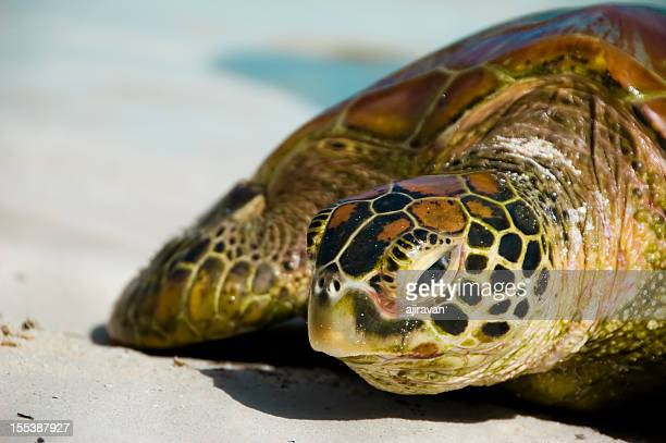 A sea turtle relaxing in the white sands