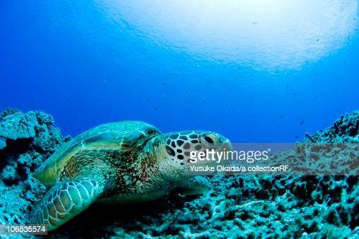 Sea turtle resting underwater