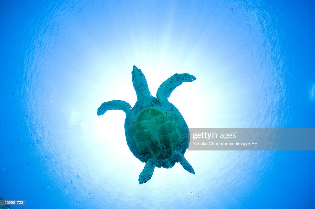 Big Sea Turtle Swimming Underwater Stock Image - Image: 16085861