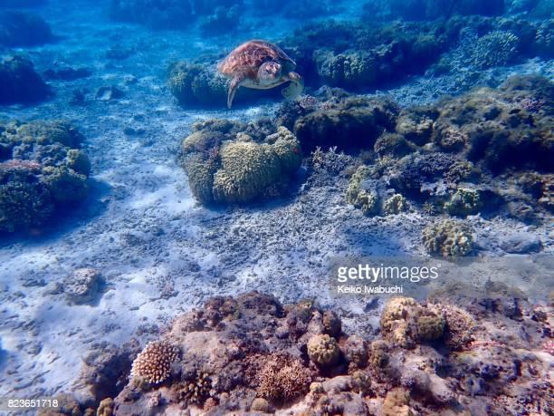 Sea turtle. Underwater in Okinawa, Japan