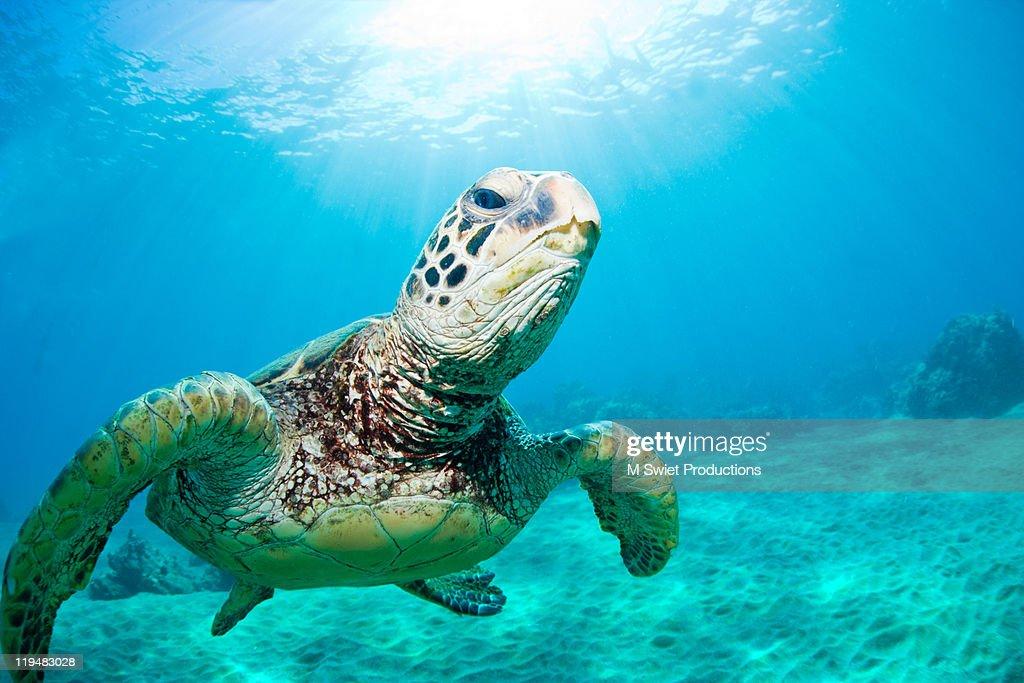 Sea turtle underwater : Stock Photo