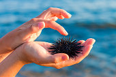 Sea urchin in woman's hand : Stock Photo