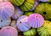 A collection of colorful sea urchin shells.
