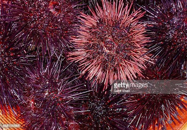 Sea urchins on November 8 2014 in Santa Barbara California