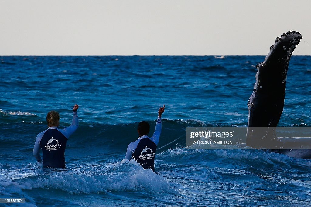 Sea World marine rescue workers try to rescue a humpback whale beached at Palm Beach on Queensland's Gold Coast on July 9, 2014. Australian authorities struggled to rescue a beached baby whale Wednesday and were forced to suspend the operation as fading light hampered efforts to return it to sea. AFP PHOTO / PATRICK HAMILTON