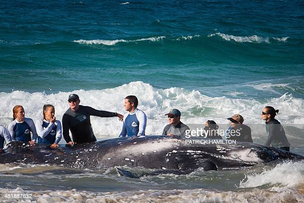 Sea World marine rescue workers try to rescue a humpback whale beached at Palm Beach on Queensland's Gold Coast on July 9 2014 Australian authorities...
