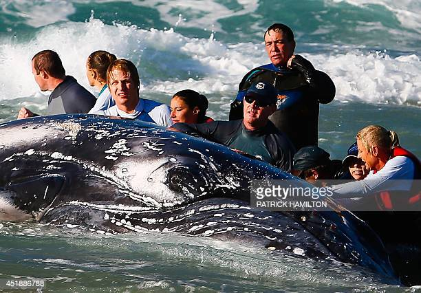 Sea World marine rescuer workers try to rescue a humpback whale beached at Palm Beach on Queensland's Gold Coast on July 9 2014 Australian...