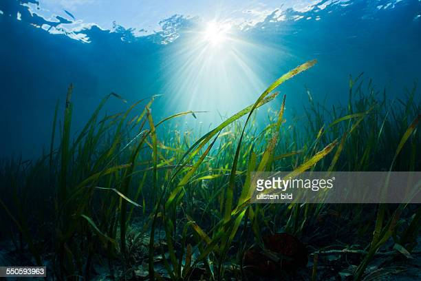 Seagrass Meadows Cenderawasih Bay West Papua Indonesia