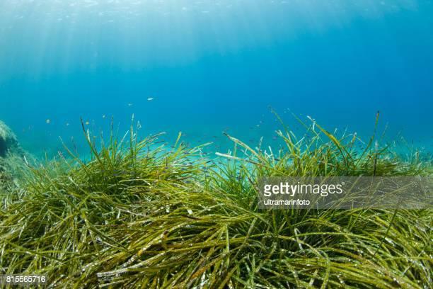 Seagrasses Underwater Sea life   Scuba diver point of view  Sea grass Posidoniaceae
