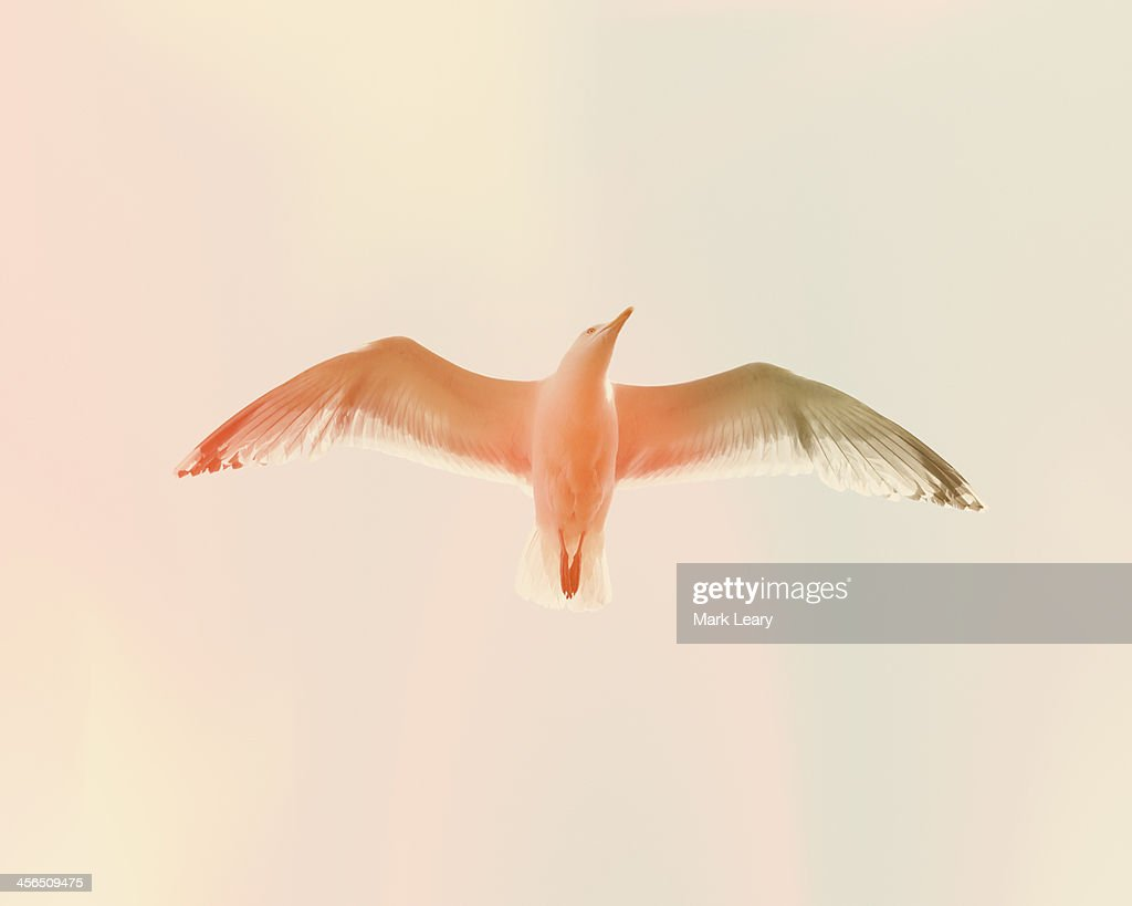 Seagull 5 : Stock Photo