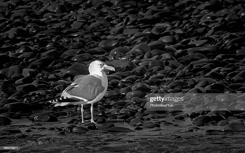 Seagull among the roks in black and white