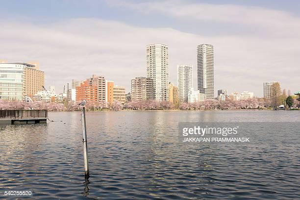 Seagull and Shinobazu pond