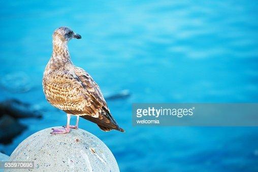Seagull and the Sea : Stock Photo