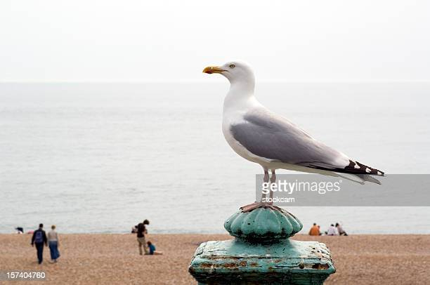Seagull at the beach