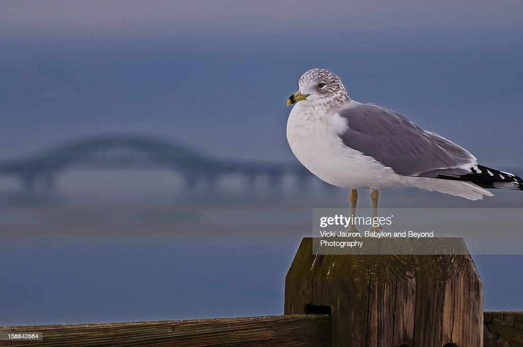 Seagull at the Forefront