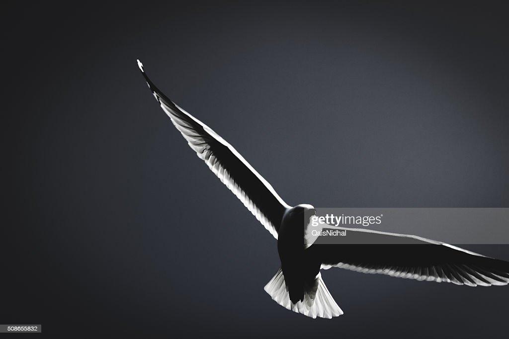 Seagull Black and white : Stock Photo
