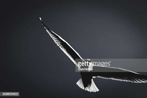 Seagull Black and white : Stock Photo