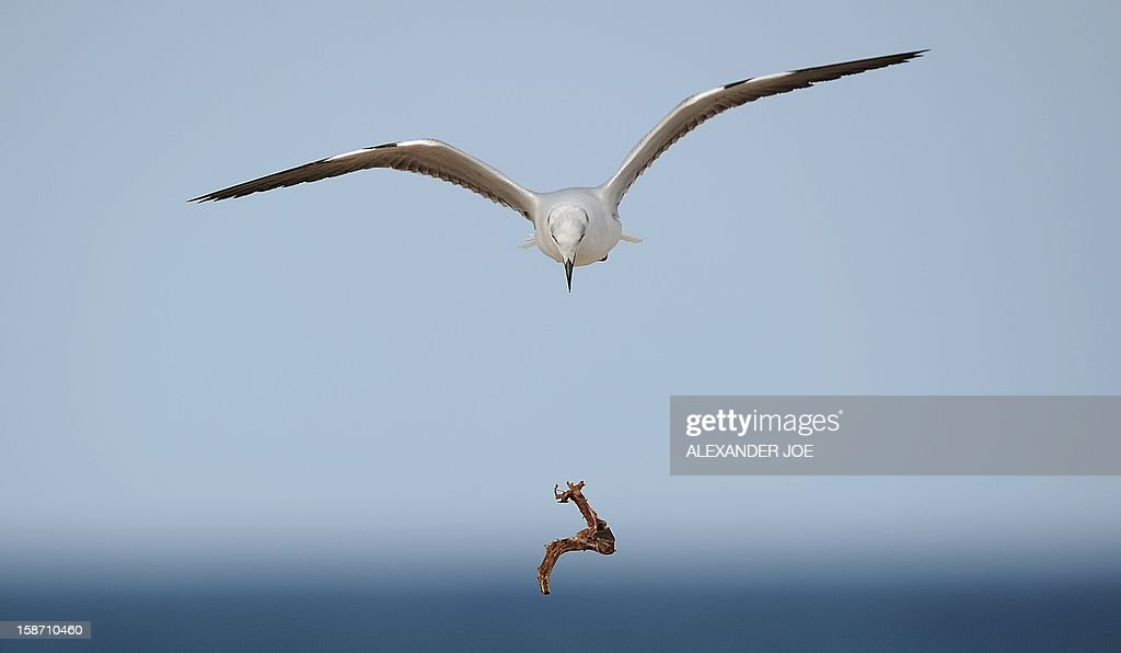 A seagull drops food as it flies on the sea front in Port Elizabeth on December 25, 2012.