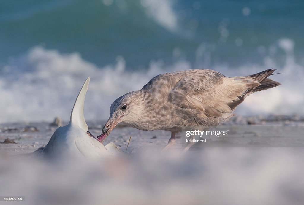 Seagull eating a dead shark on beach, Sarasota, Florida, America, USA