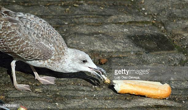 Seagull eats bread