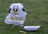 A seagull eats discarded takeaway food at St Ives on July 29 2015 in Cornwall England Recent attacks by herring gulls on people and their pets has...
