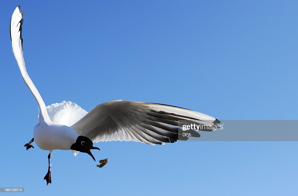 A seagull flies over a harbour in Travemuende, on March 31, 2013. AFP PHOTO / Ole Spata /GERMANY OUT