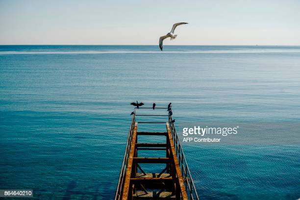 A seagull flies over cormorants near the Black sea town of Sozopol on October 21 2017 / AFP PHOTO / Dimitar DILKOFF