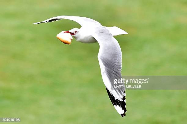 A seagull flies with a piece of bread during day three of the first International Test cricket match between New Zealand and Sri Lanka at University...
