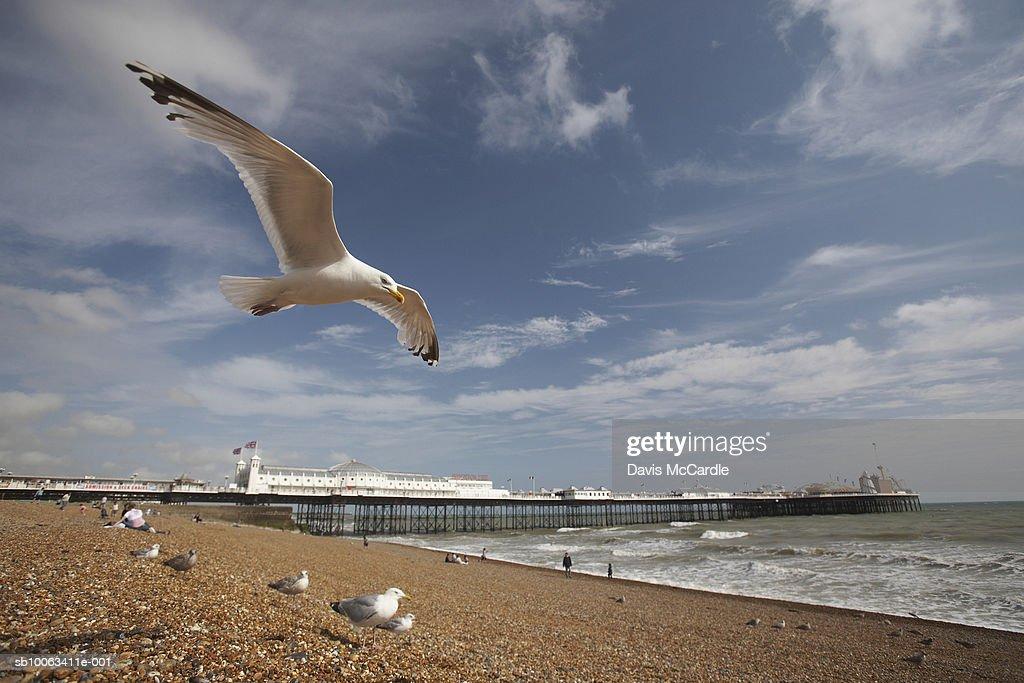 Seagull flying above Brighton beach. Brighton, England, East Sussex, Brighton Pier. : Stock Photo